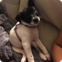 Terrier (Unknown Type, Medium) Mix Puppy for adoption in Brookeville, Maryland - Feta