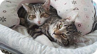 Domestic Shorthair Kitten for adoption in Kirkland, Washington - Riley & Boots