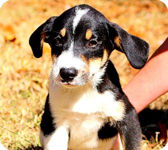 Labrador Retriever/Beagle Mix Puppy for adoption in Glastonbury, Connecticut - Magoo