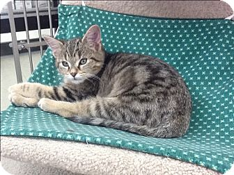 Domestic Shorthair Kitten for adoption in Warren, Ohio - Simba
