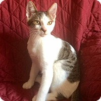 Domestic Shorthair Kitten for adoption in San Diego, California - JACK