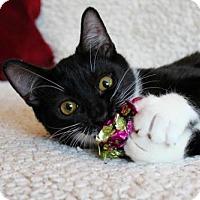 Adopt A Pet :: I'M FRANKLIN! I IZ A LAPCAT! - jacksonville, FL