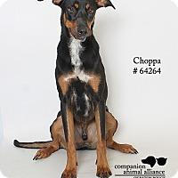 Adopt A Pet :: Choppa - Baton Rouge, LA