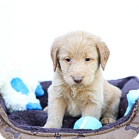 Adopt A Pet :: Mr. Belvedere - Auburn, CA