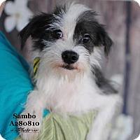 Adopt A Pet :: SAMBO - Conroe, TX