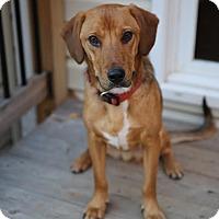 Adopt A Pet :: Cody - Centreville, VA