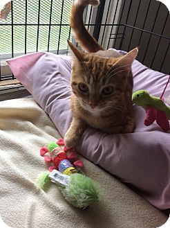 Domestic Shorthair Kitten for adoption in Mt Pleasant, Pennsylvania - Aster