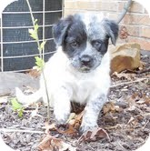 Australian Shepherd/Border Collie Mix Puppy for adoption in Plainfield, Connecticut - Winnie