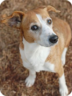 Beagle/Corgi Mix Dog for adoption in Homewood, Alabama - Cookie