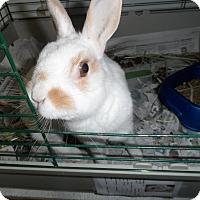 Adopt A Pet :: Freckles - Hillside, NJ