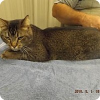 Domestic Shorthair Cat for adoption in Florence, Texas - Odo