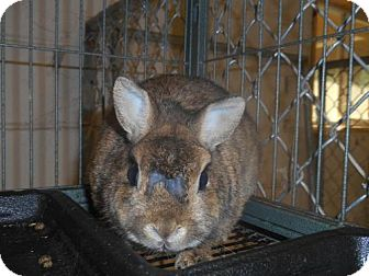 Netherland Dwarf for adoption in Zaleski, Ohio - Bailey