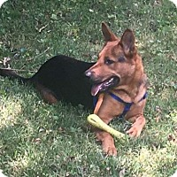 German Shepherd Dog Dog for adoption in Lithia, Florida - ABBY -16 in St Pete