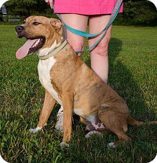 Labrador Retriever Mix Dog for adoption in Midlothian, Virginia - Tiger