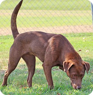 Labrador Retriever Mix Dog for adoption in Savannah, Tennessee - Zaine