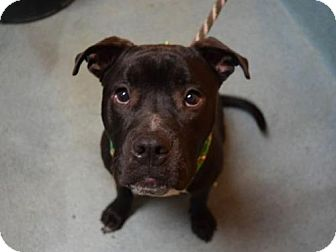 American Pit Bull Terrier Mix Dog for adoption in Manhattan, New York - Chevy