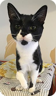 Domestic Shorthair Cat for adoption in Middletown, New York - Drea
