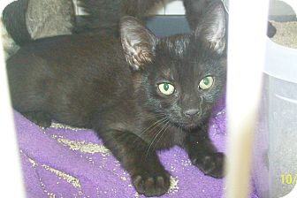 Domestic Shorthair Cat for adoption in Mexia, Texas - Butch Cassidy