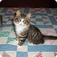 Adopt A Pet :: Jake-Maine Coon mix kitten - Taylor Mill, KY
