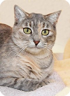 Domestic Shorthair Cat for adoption in Encinitas, California - Candy Apple
