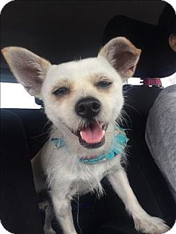 Terrier (Unknown Type, Small)/Chihuahua Mix Dog for adoption in Encino, California - Donnie