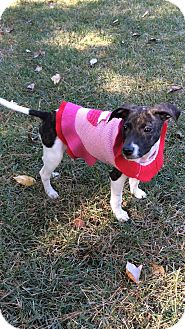 Whippet/Labrador Retriever Mix Puppy for adoption in Hagerstown, Maryland - Mercy