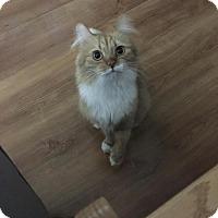 Domestic Mediumhair Cat for adoption in Los Angeles, California - Treat
