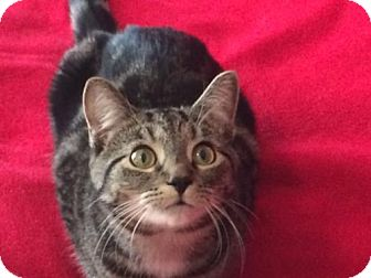 Domestic Shorthair Kitten for adoption in Taylor, Michigan - Lacie