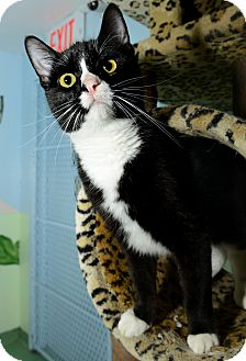 Domestic Shorthair Cat for adoption in New York, New York - Tony MC