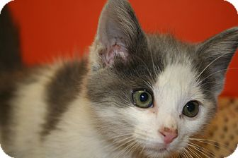 Domestic Mediumhair Kitten for adoption in SILVER SPRING, Maryland - JESSE