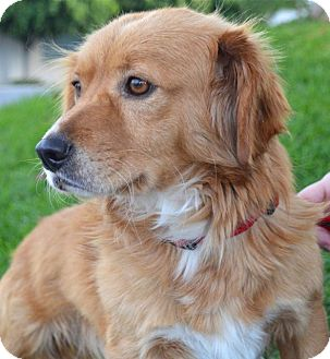 Golden Retriever/Corgi Mix Dog for adoption in Los Angeles, California - Winston