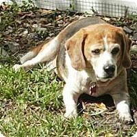 Beagle Dog for adoption in Tampa, Florida - Bayou