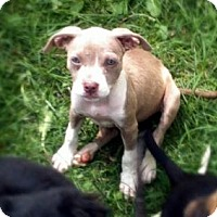 Adopt A Pet :: Pitty Puppies - Chattanooga, TN