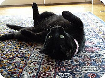 Bombay Cat for adoption in Brooklyn, New York - Josephine Wants to be with You