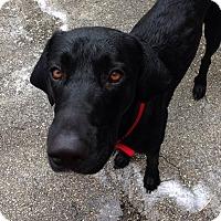 Adopt A Pet :: Dutch - Ocean Ridge, FL