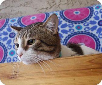 Domestic Shorthair Cat for adoption in Phoenix, Arizona - Jet