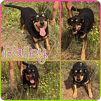 Adopt A Pet :: Bailey - Big Spring, TX