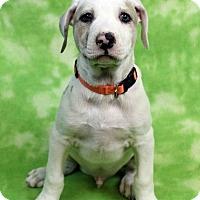 Adopt A Pet :: GABRIEL - Westminster, CO