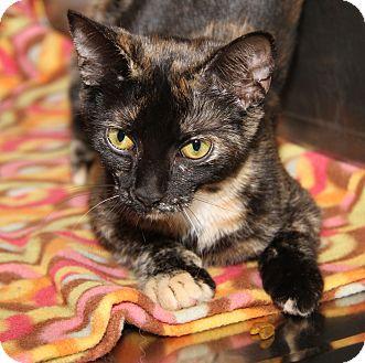 Domestic Shorthair Cat for adoption in Marietta, Ohio - Jessie (Spayed)