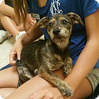 Adopt A Pet :: Talulah - Thousand Oaks, CA