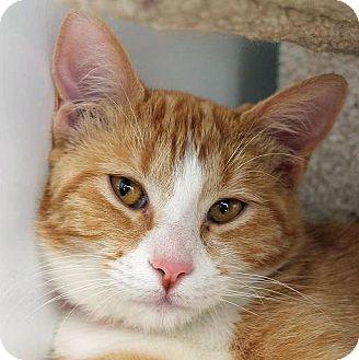 Domestic Shorthair Cat for adoption in Mountain Center, California - Camelia
