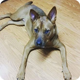 Basenji Mix Dog for adoption in Jacksonville, Florida - Cookie