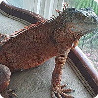 Adopt A Pet :: Lucille - Aurora, IL
