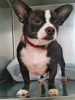 Chihuahua Mix Dog for adoption in Scottsdale, Arizona - Booda
