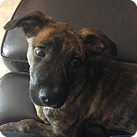 Adopt A Pet :: Harleigh - Royal Palm Beach, FL
