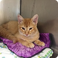 Adopt A Pet :: Ginger - Mountain View, AR