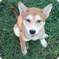 Shiba Inu Puppy for adoption in Flanders, New Jersey - ADOPTION PENDING