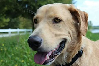 Labrador Retriever/Golden Retriever Mix Dog for adoption in Kittery, Maine - Tater *SEEKING DOG-SAVVY*