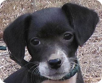 Beagle/Xoloitzcuintle/Mexican Hairless Mix Puppy for adoption in Cedartown, Georgia - Bitsy