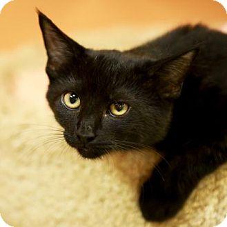 Domestic Shorthair Cat for adoption in Kettering, Ohio - Dazzle